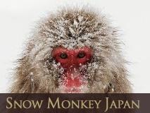 Snow Monkey Japan